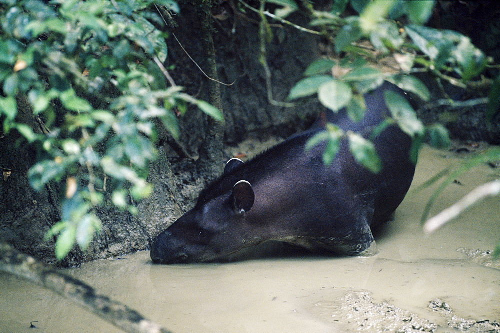 Tapir at clay lick, Manu, Amazonia, Peru, South America