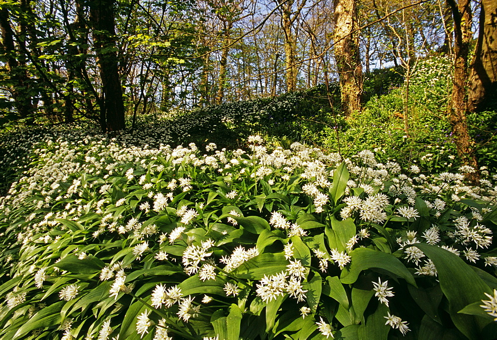 Ramsons (wild garlic) in spring, Stackpole Woods, Pembrokeshire, Wales, United Kingdom, Europe