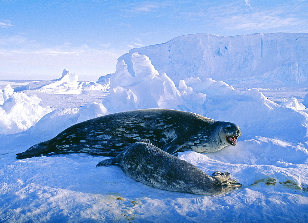 Weddell seal (Leptonychotes weddellii), with pup, on sea ice, Weddell Sea, Antarctica, Polar Regions