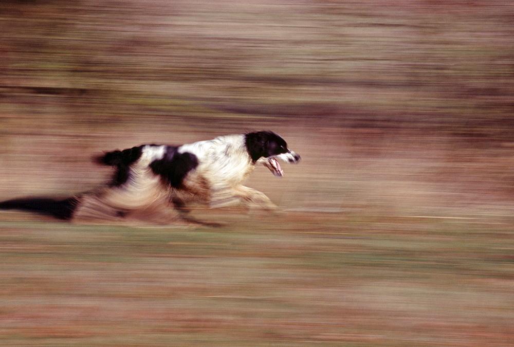 Springer spaniel running - 738-194