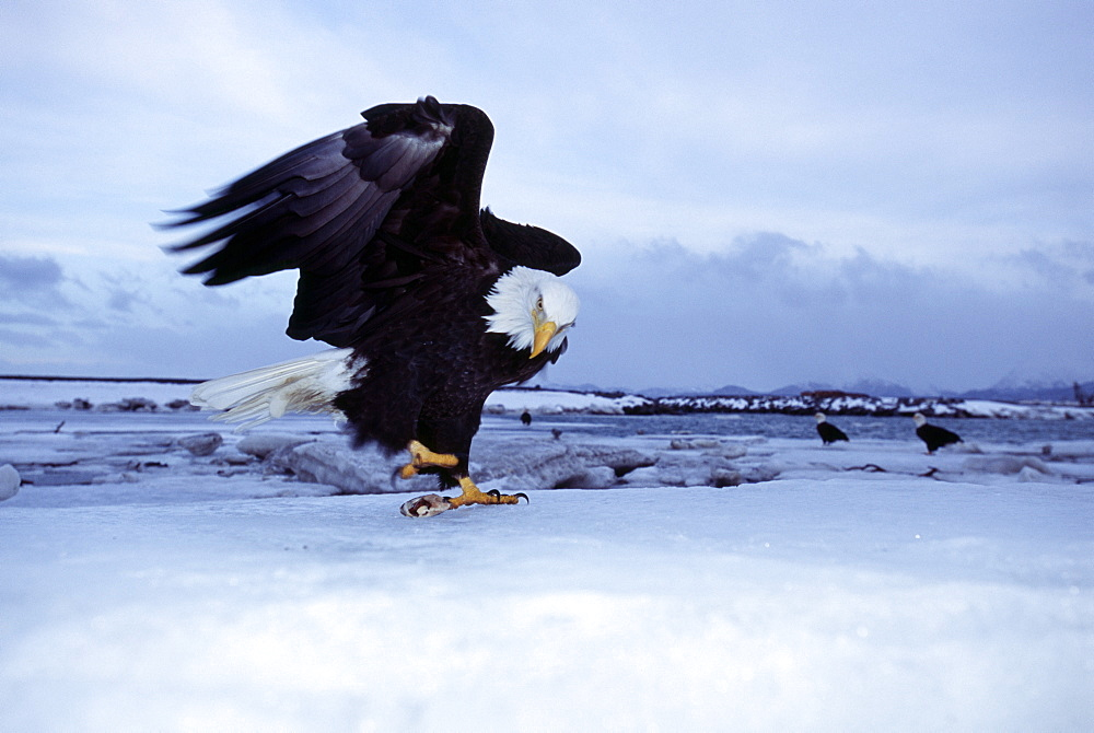 Bald eagle (Haliaetus leucocephalus), Homer, Alaska, United States of America, North America - 738-195