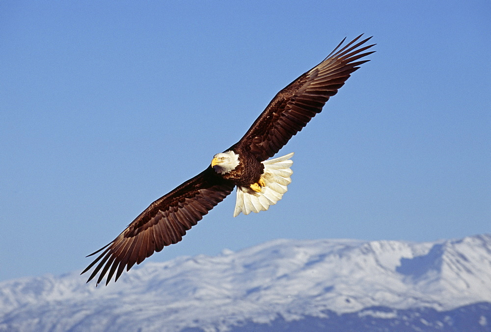 Bald eagle (Haliaetus leucocephalus), Homer, Alaska, United States of America, North America - 738-196