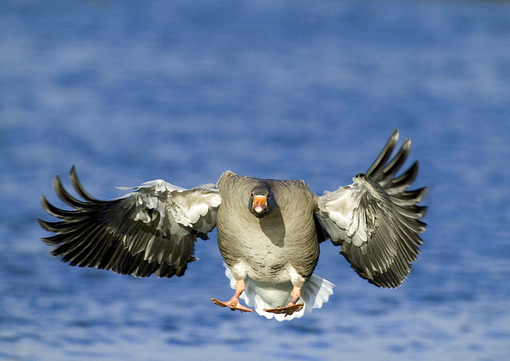 Greylag goose (Anser anser), coming in to land, Caerlaverock, Scotland, United Kingdom, Europe