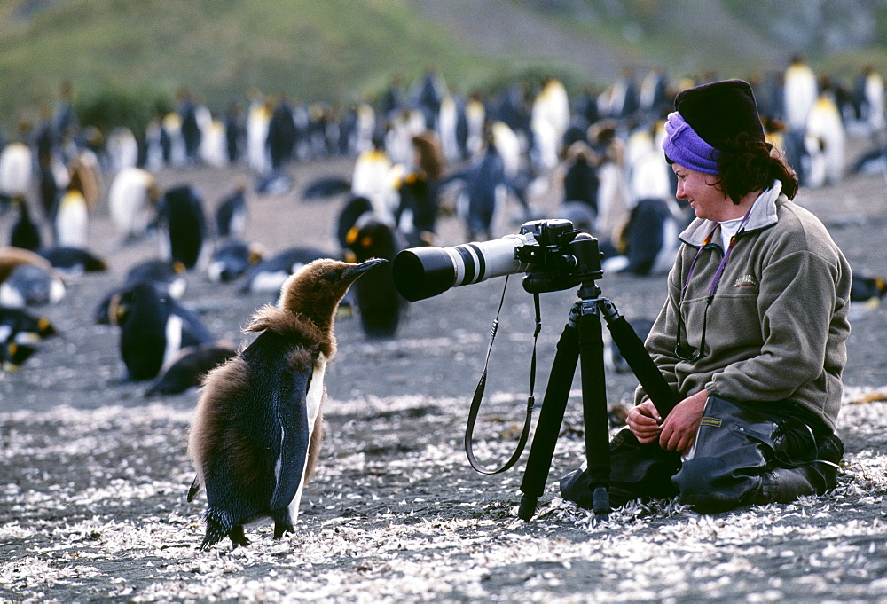 King penguin (Aptenodytes patagonicus), chick looking at tourist, on beach, Gold Harbour, South Georgia, Polar Regions - 738-65