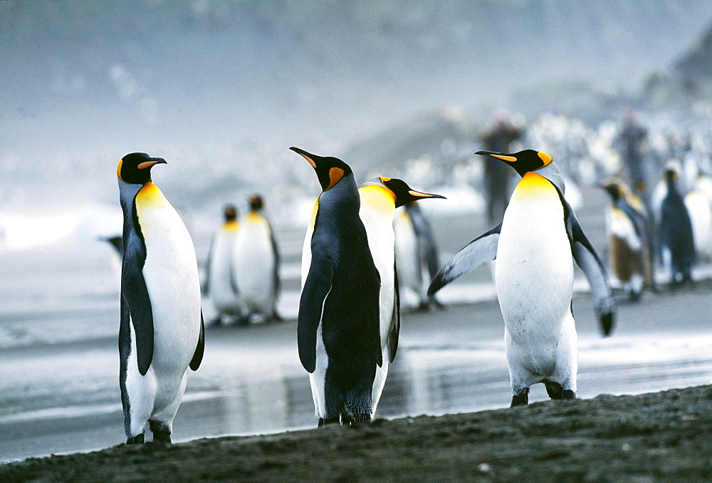 King penguins (Aptenodytes patagonicus), St. Andrews Bay, South Georgia, South America - 738-66