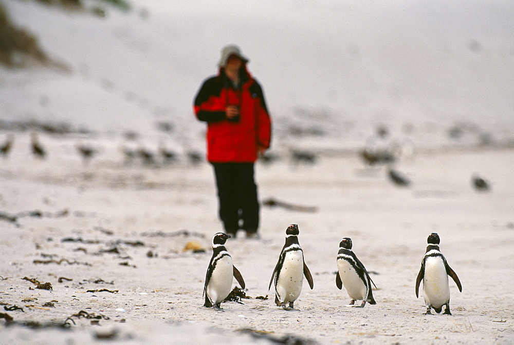 Tourist and Magellanic penguins on beach, Carcass Island, Falklands, South America