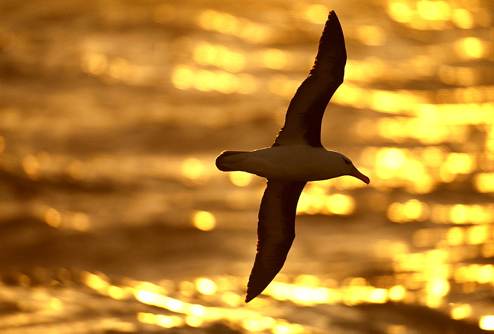 Black-browed albatross (Thalassarche melanophrys) at sunset, Southern Ocean, Antarctica, Polar Regions