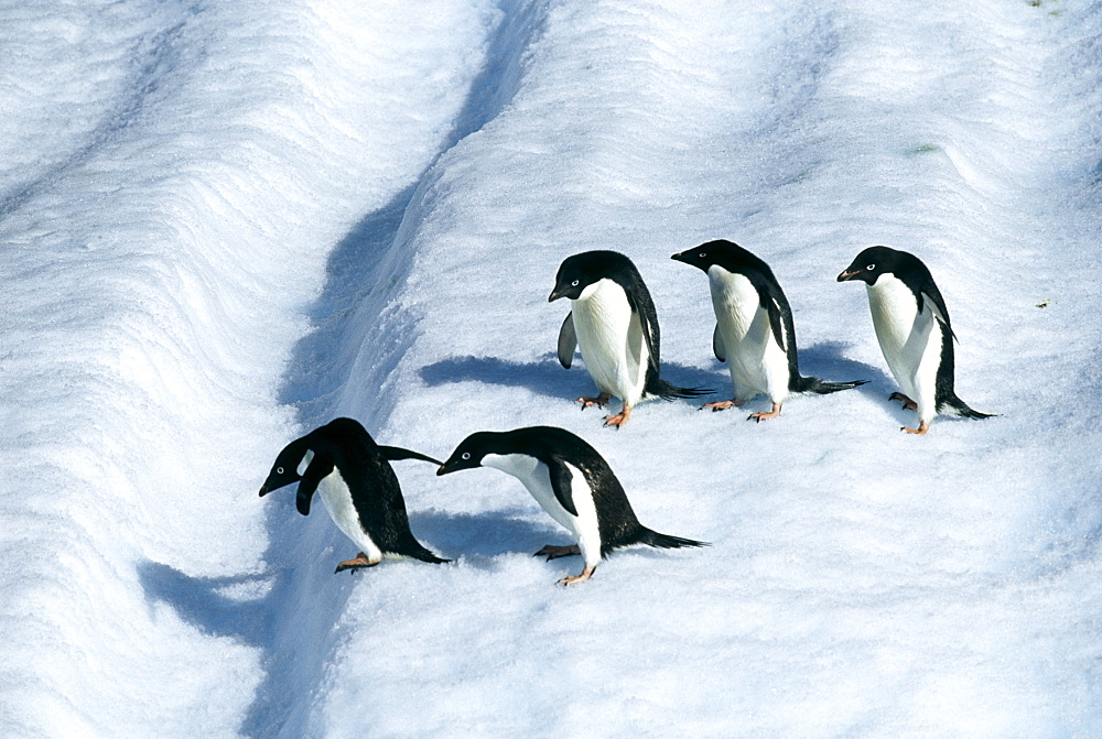 Adult adelie penguins (Pygoscelis adeliae) on iceberg off Paulet Island, Weddell Sea, Antarctica, Polar Regions