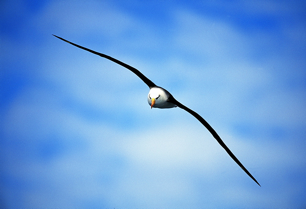 Black-browed albatross (Thalassarche melanophrys) in a blue sky, Southern Ocean, Antarctica, Polar Regions