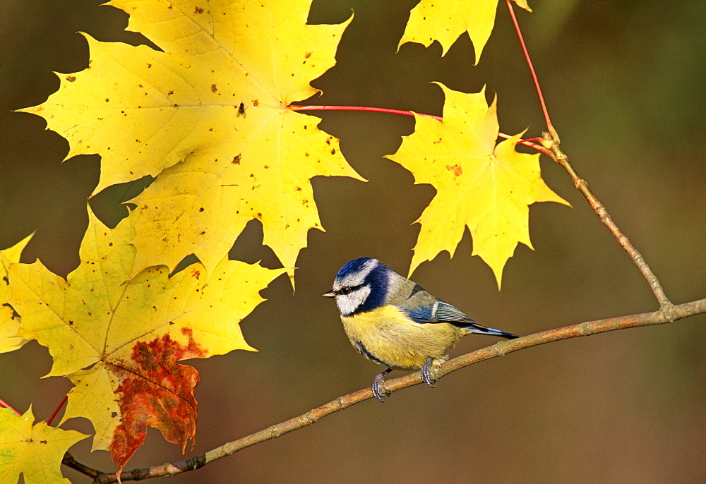 Blue tit (Parus caeruleus), among autumn leaves, United Kingdom, Europe
