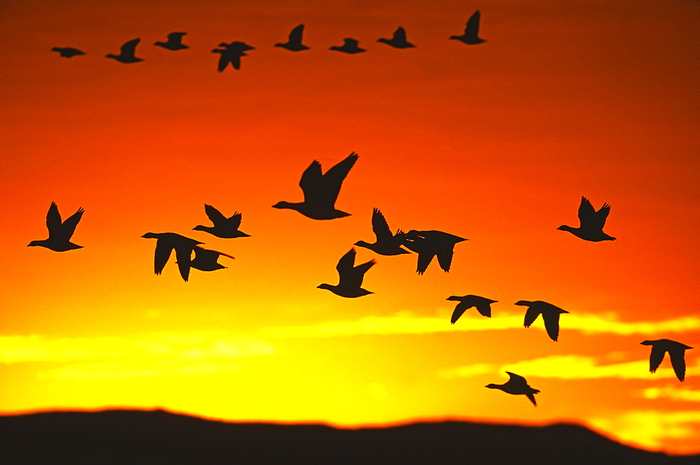 Snow geese flying out from roost to feed at dawn, Bosque del Apache, New Mexico, United States of America, North America