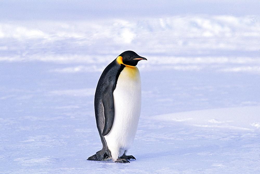 Emperor penguin (Aptenodytes forsteri), Weddell Sea, Antarctica, Polar Regions - 738-80