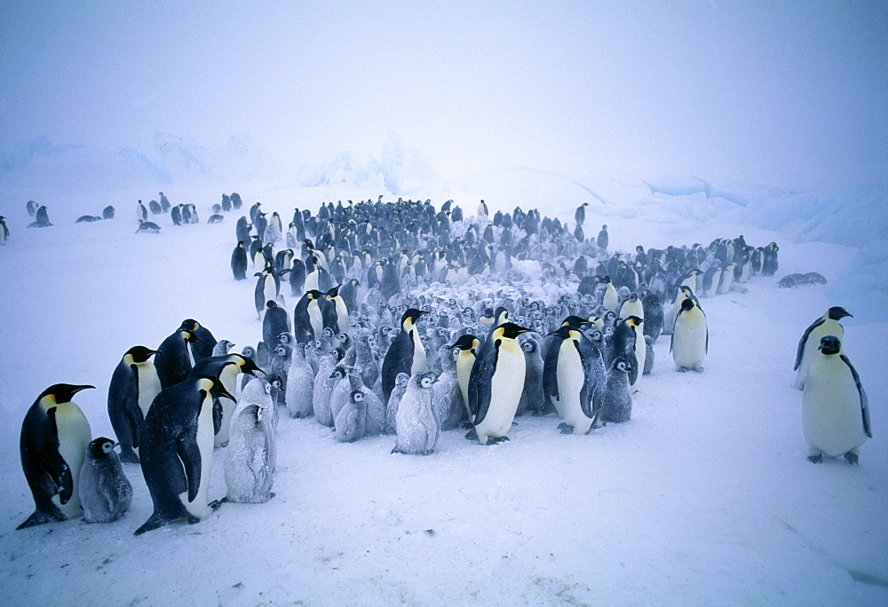 Young emperor penguins (Aptenodytes forsteri) huddling together to form a creche to keep warm, during storm, Dawson Lambton Glacier, Weddell Sea, Antarctica, Polar Regions