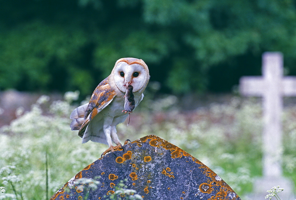 Barn owl (Tyto alba), with shrew in churchyard, United Kingdom, Europe