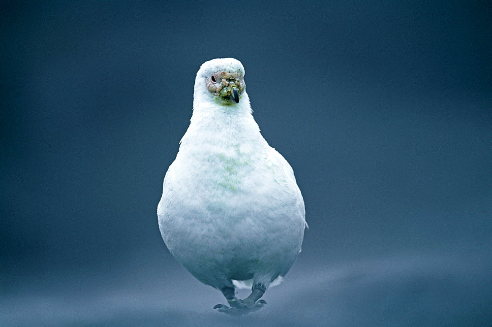 Pale-faced sheathbill (Chionis alba), Antarctic Peninsula, Antarctica, Polar Regions - 738-95