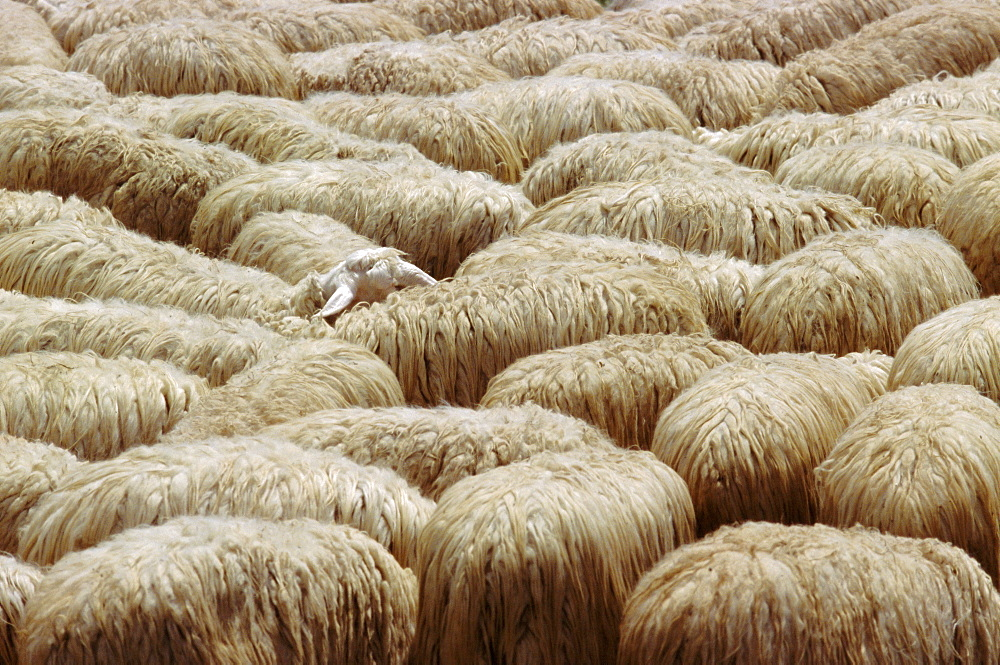 Flock of sheep, Sardinia, Italy, Mediterranean, Europe - 739-213
