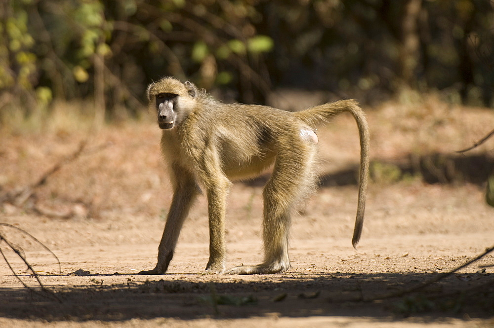 Chacma baboon, South Luangwa National Park, Zambia, Africa