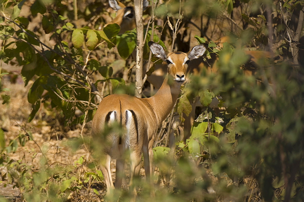 Impala, South Luangwa National Park, Zambia, Africa