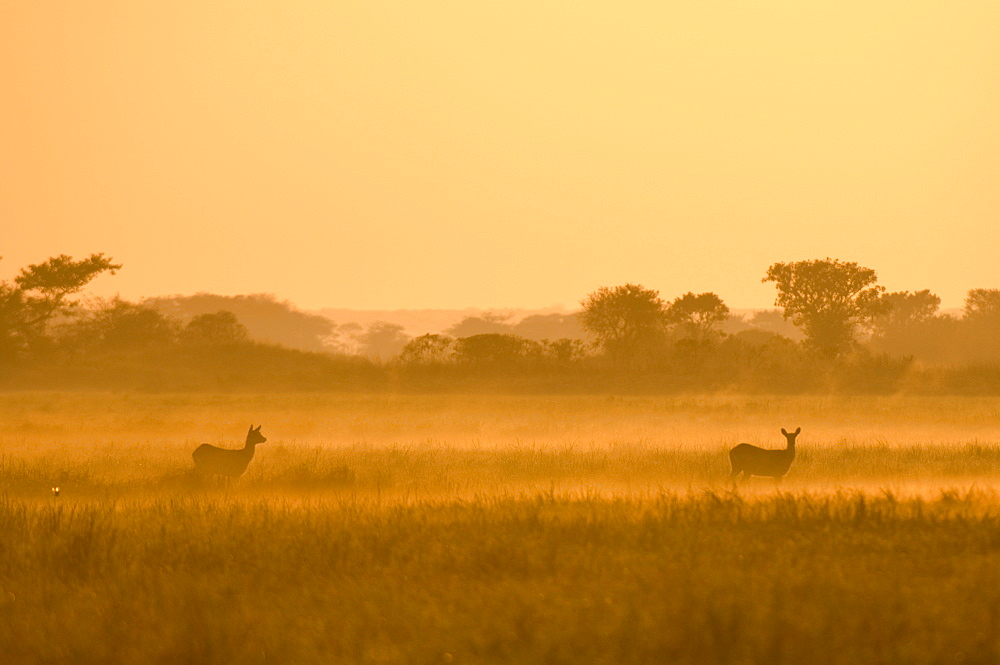 Puku in the mist at sunrise, Busanga Plains, Kafue National Park, Zambia, Africa