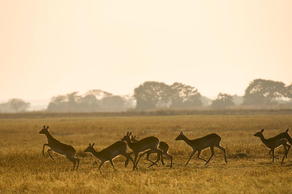 Puku, Busanga Plains, Kafue National Park, Zambia, Africa
