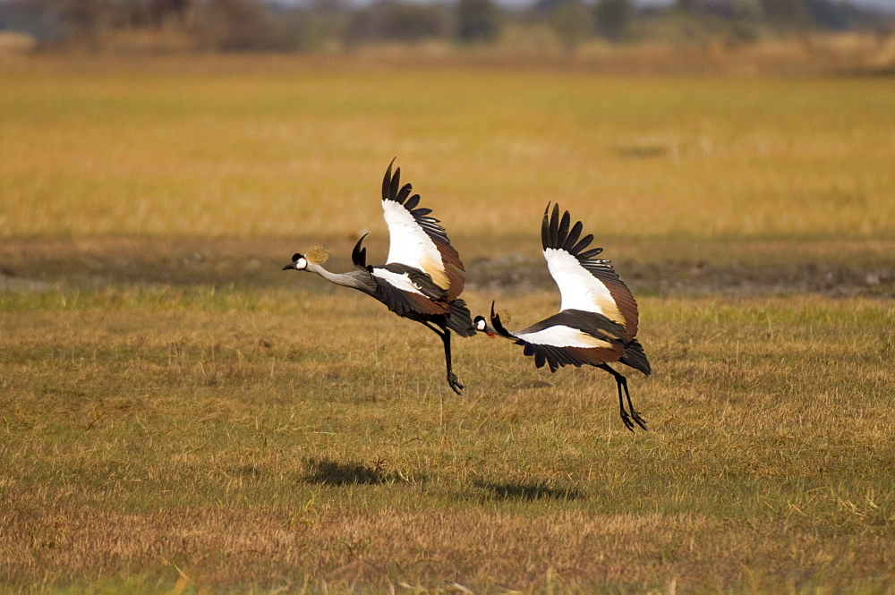 Grey crowned cranes, Busanga Plains, Kafue National Park, Zambia, Africa