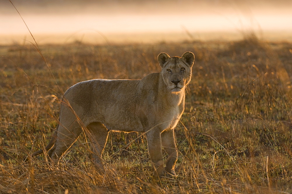 Lioness in the mist at sunrise, Busanga Plains, Kafue National Park, Zambia, Africa