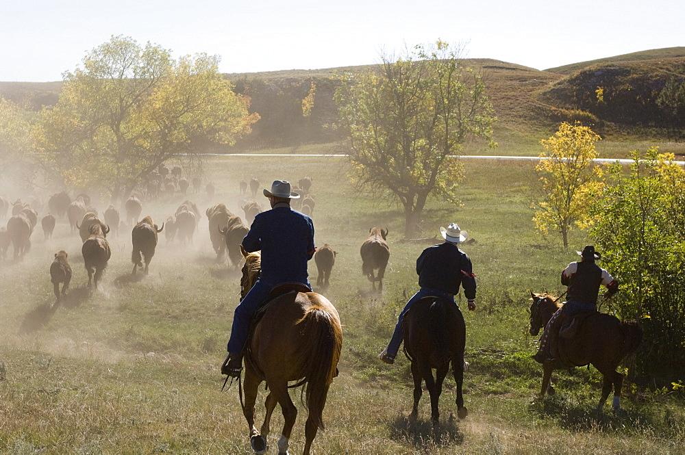 Cowboys pushing herd at Bison Roundup, Custer State Park, Black Hills, South Dakota, United States of America, North America