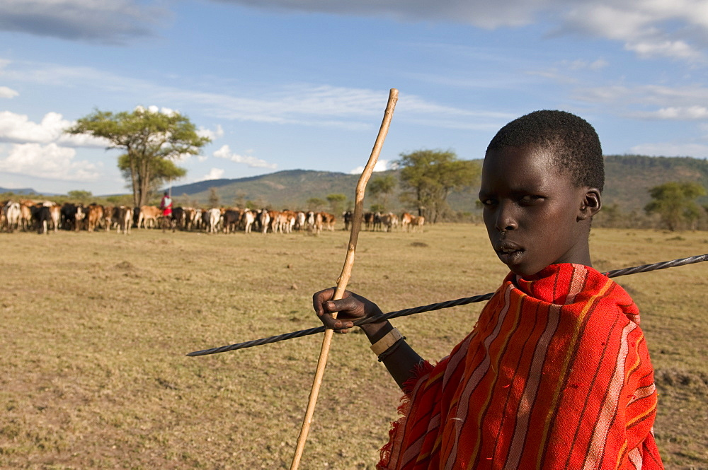 Masai boy with cattle, Masai Mara, Kenya, East Africa, Africa
