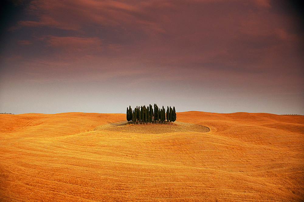 Cypress trees in Tuscan field, Val d'Orcia, Siena province, Tuscany, Italy - 741-33
