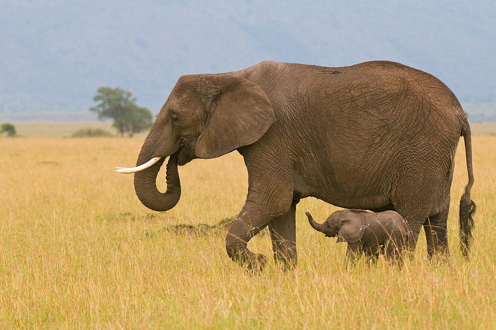 African elephant and baby (Loxodonta africana), Masai Mara National Reserve, Kenya, East Africa, Africa