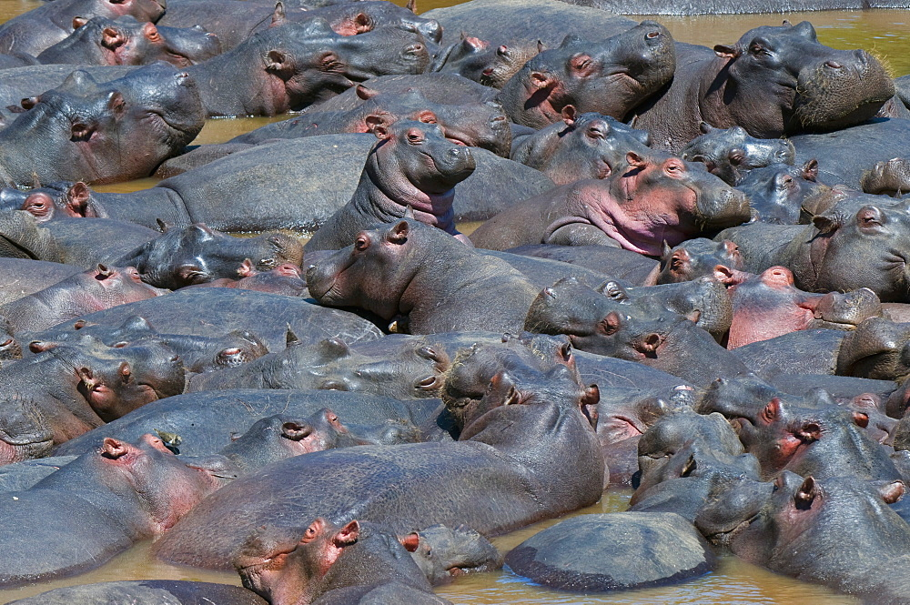 Baby hippo standing in the middle of a herd (Hippopotamus amphibius), Masai Mara National Reserve, Kenya, Africa