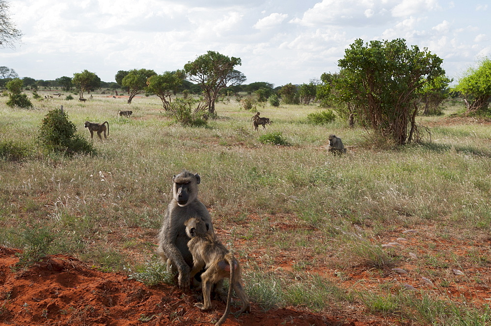 Yellow baboons (Papio hamadryas cynocephalus), Tsavo East National Park, Kenya, East Africa, Africa
