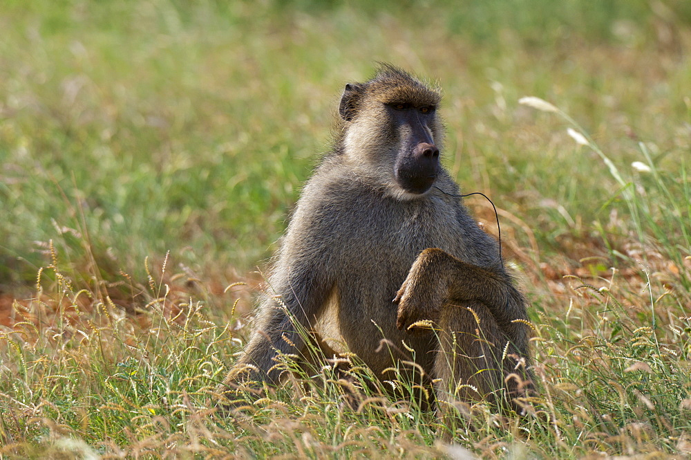 Yellow baboon (Papio hamadryas cynocephalus) with a snare on his neck, Tsavo East National Park, Kenya, East Africa, Africa