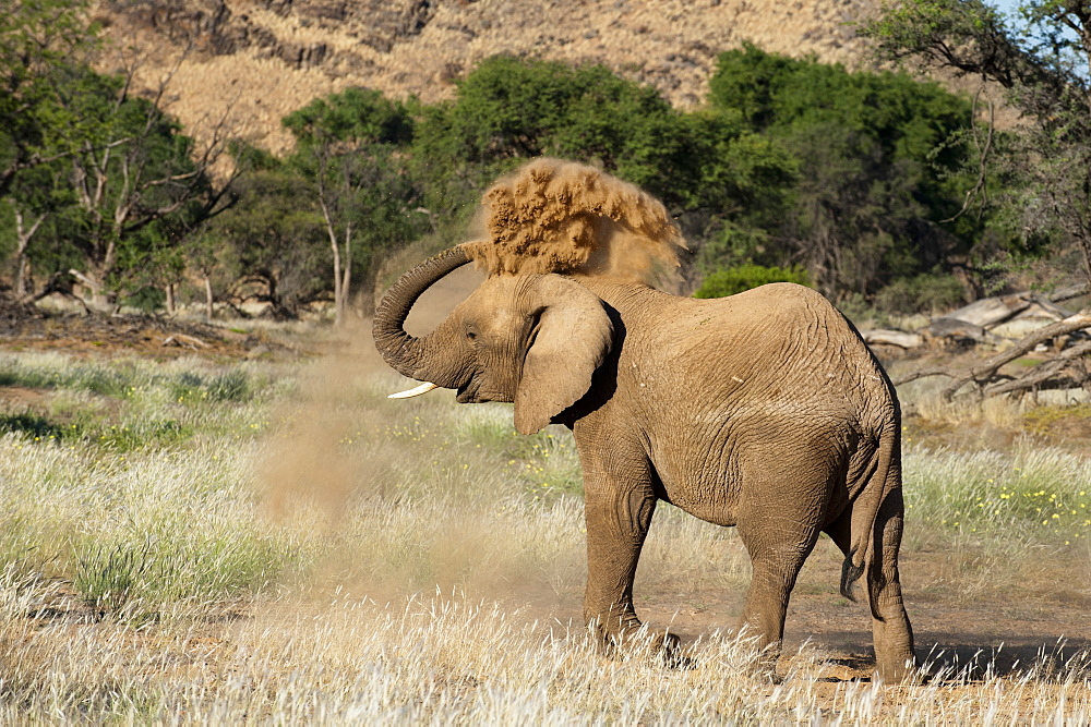 Desert elephant (Loxodonta africana), Huab River Valley, Torra Conservancy, Damaraland, Namibia, Africa