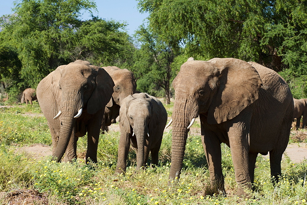 Desert elephants (Loxodonta africana), Huab River Valley, Torra Conservancy, Damaraland, Namibia, Africa