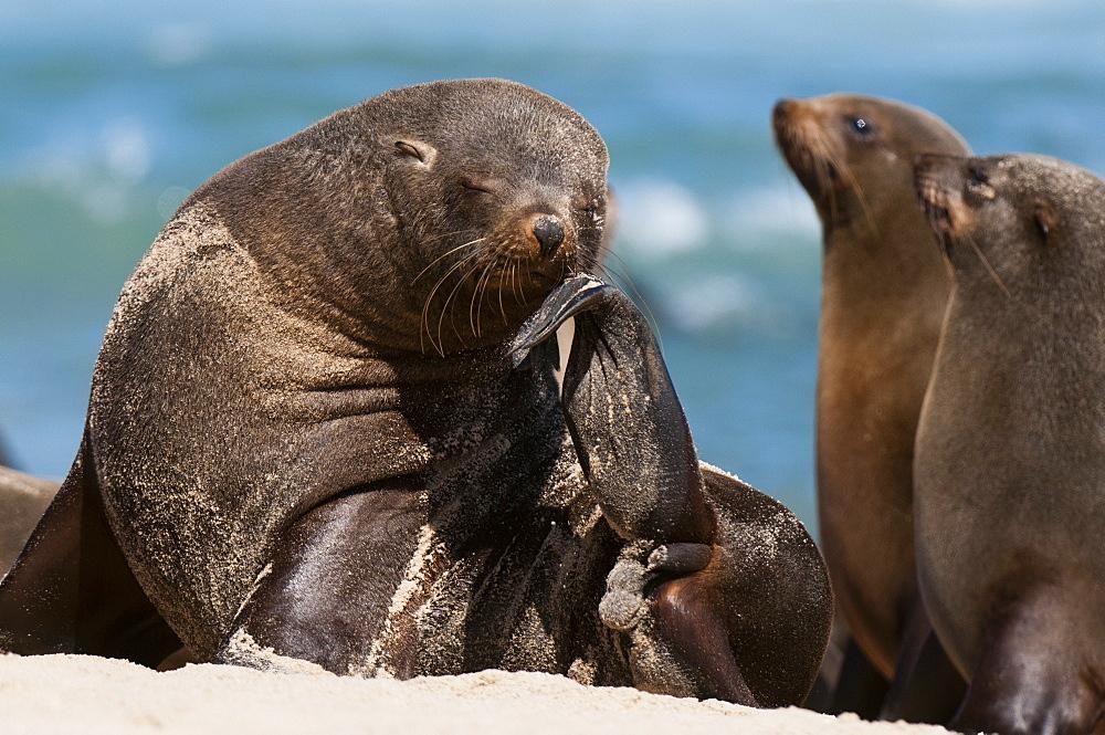 Cape fur seal (Arctocephalus pusilus), Skeleton Coast National Park, Namibia, Africa