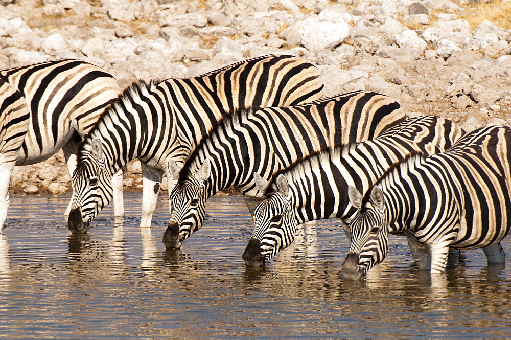 Burchell's zebra (Equus burchellii), Etosha National Park, Namibia, Africa - 741-4287