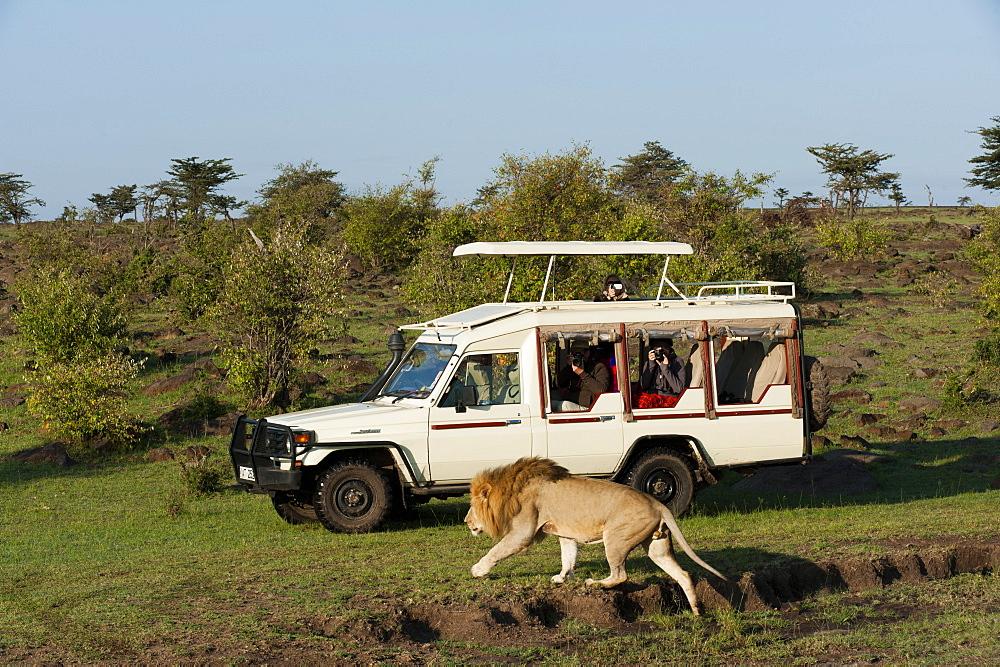 Lion (Panthera leo) and safari vehicle, Masai Mara, Kenya, East Africa, Africa - 741-4317