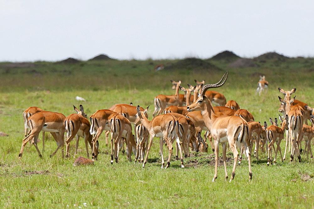 Impala (Aepyceros melampus), Masai Mara, Kenya, East Africa, Africa