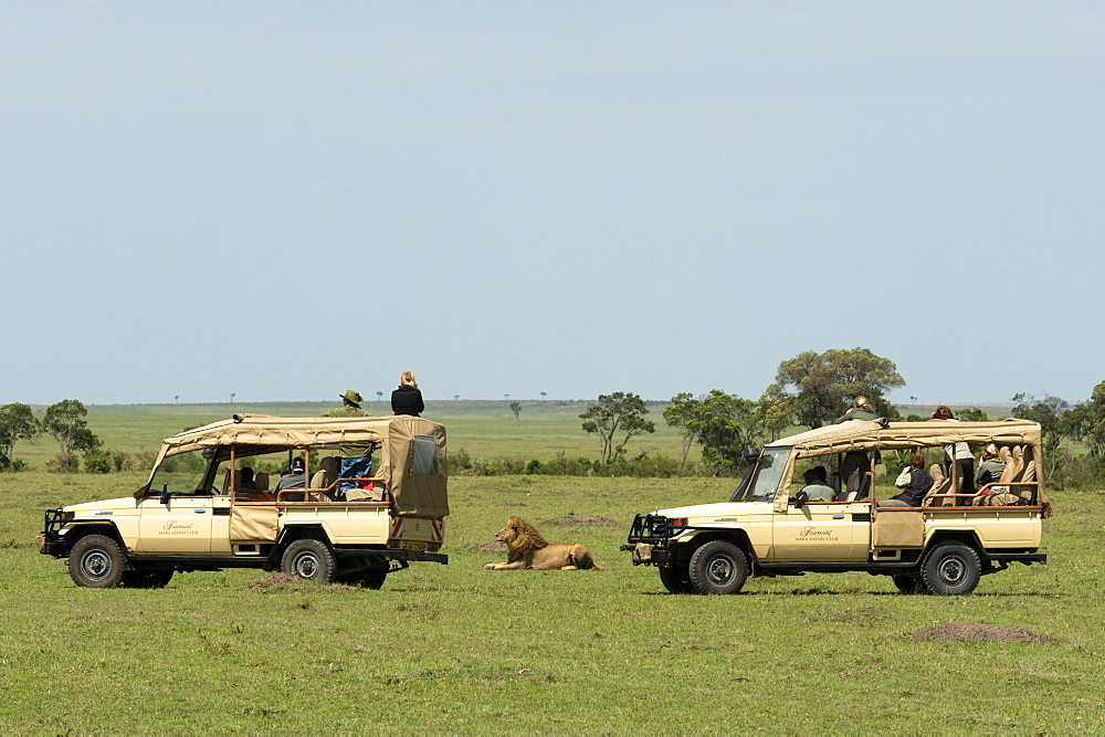 Lion (Panthera leo), Masai Mara, Kenya, East Africa, Africa - 741-4336