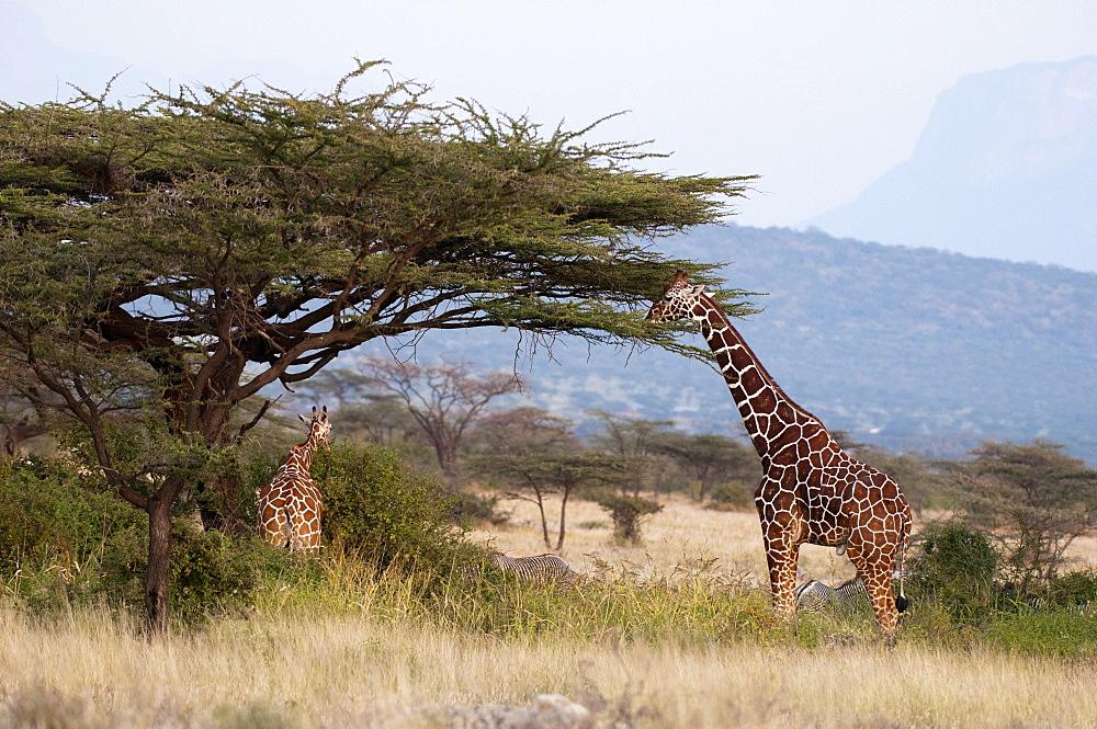 Masai giraffe (Giraffa camelopardalis), Samburu National Reserve, Kenya, East Africa, Africa