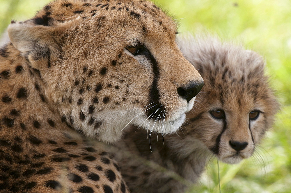 Cheetah (Acynonix jubatus) and cub, Masai Mara National Reserve, Kenya, East Africa, Africa