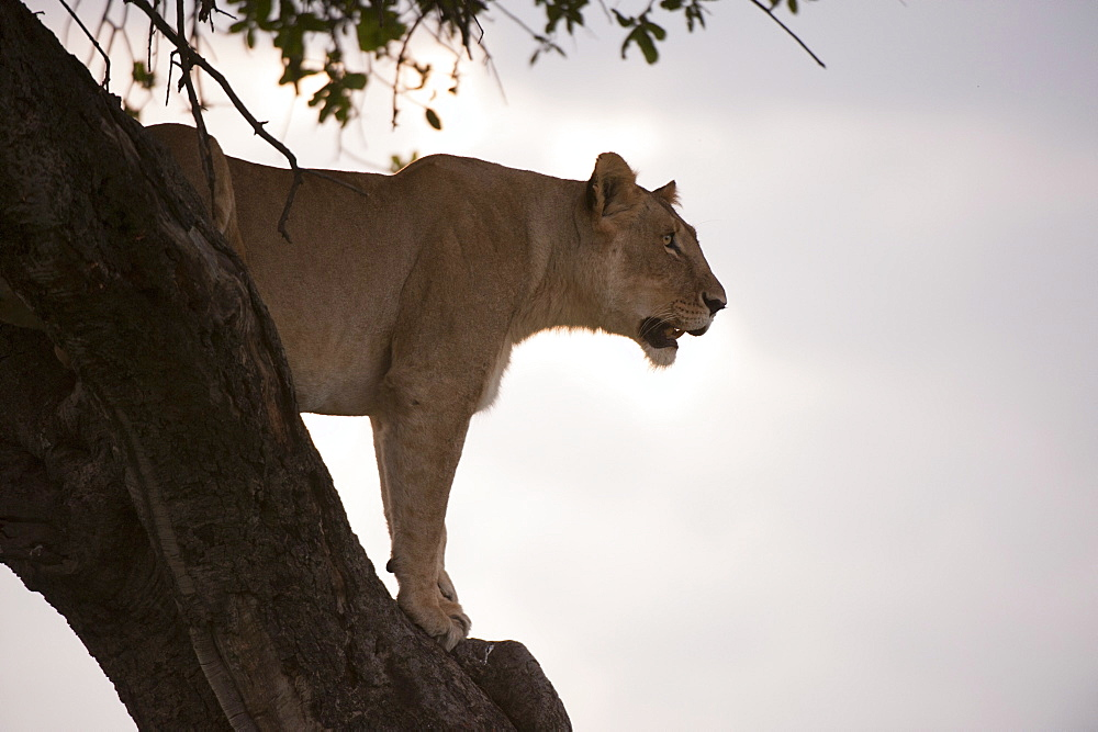 Lion (Panthera leo) on acacia tree, Masai Mara National Reserve, Kenya, East Africa, Africa