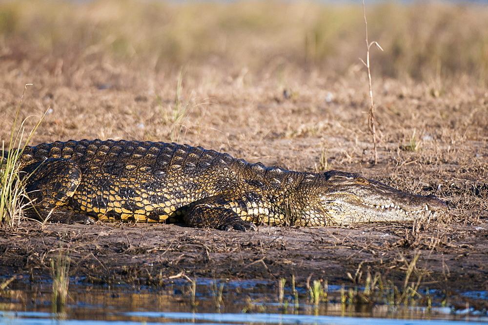 Nile crocodile (Crocodylus niloticus), Chobe National Park, Botswana, Africa