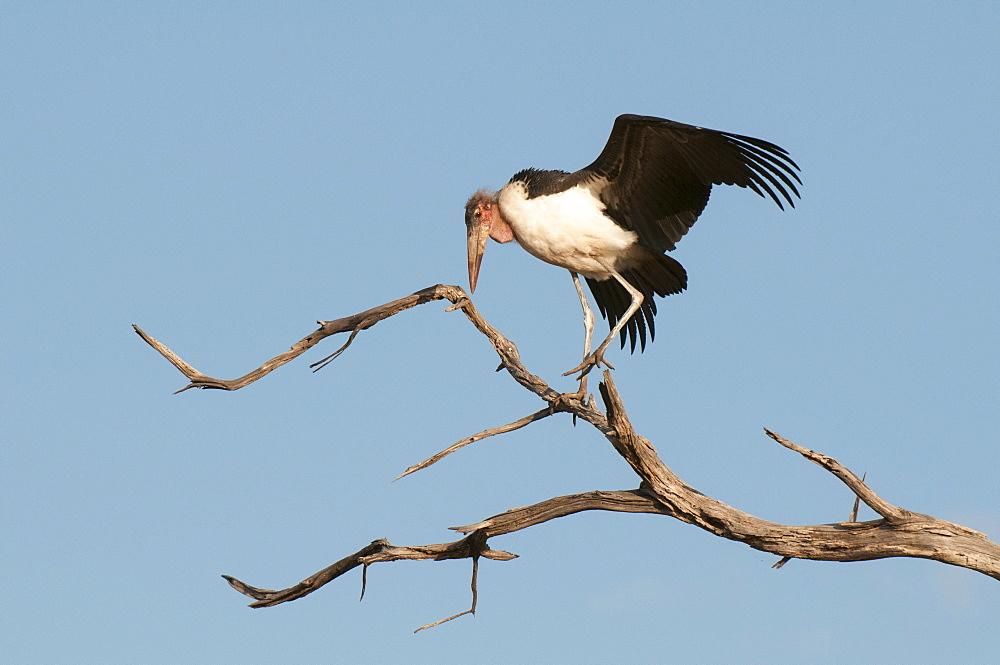 Marabou stork (Leptoptilos crumeniferus), Chobe National Park, Botswana, Africa