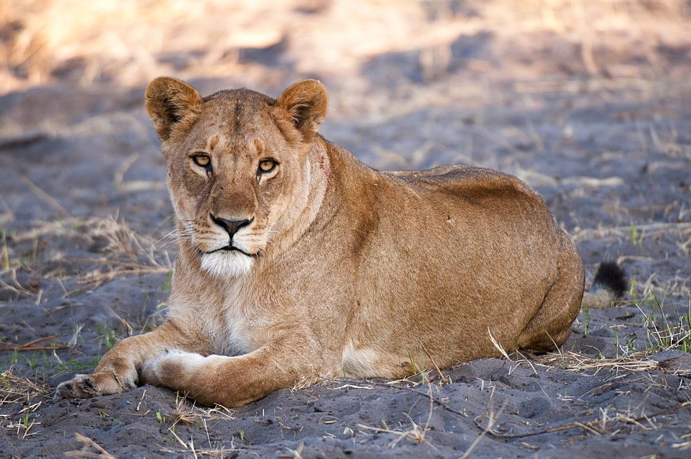 Lioness (Panthera leo), Chief Island, Moremi Game Reserve, Okavango Delta, Botswana, Africa