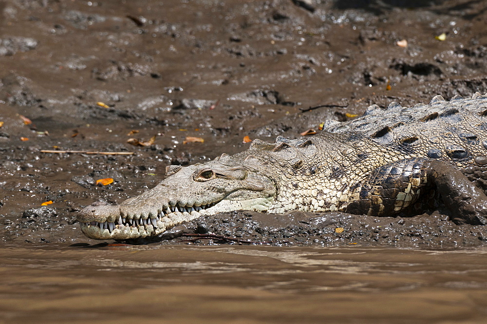 American Crocodile (Crocodylus acutus), Palo Verde National Park, Costa Rica, Central America