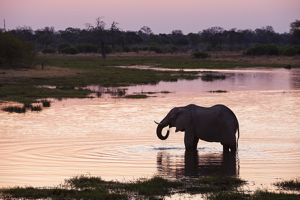 African elephant (Loxodonta africana), Khwai Concession, Okavango Delta, Botswana, Africa - 741-4908
