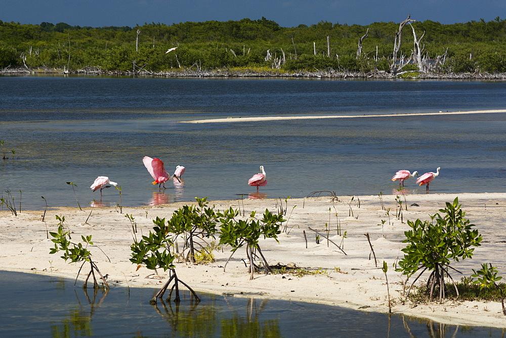 Roseate spoonbills (Platalea ajaja), Lagoon, Punta Sur Eco Park, Cozumel Island, Quintana Roo, Mexico, North America