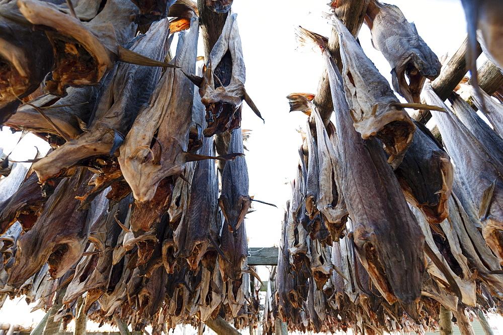 Cod fish drying, Hamnoy, Lofoten Islands, Arctic, Norway, Scandinavia, Europe